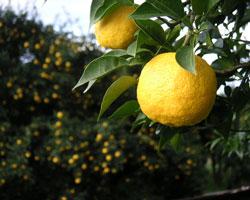 柚子の風味に、春を知る